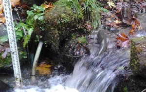 Chum_female_climbs_weir_below_Imprint-Pond_footbridge_10/30/15_cropped