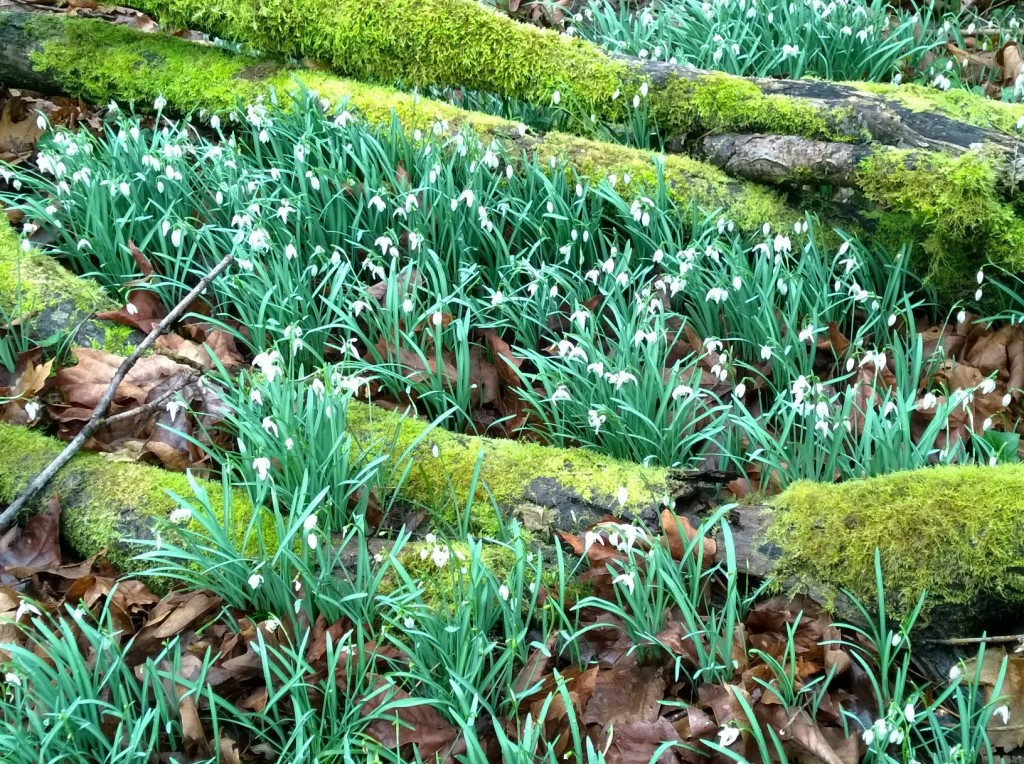Minnie Piper, the matron of the Piper clan, planted thousands of snowdrops just west of the orchard and they are in bloom in the spring. The hill is blanketed with them.