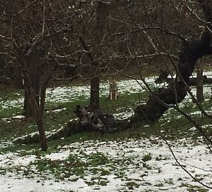This coyote was caught on camera by Joan Ritzenthaler in Piper's Orchard; Dec 9, 2016
